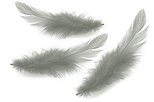 plume-longue-grise-2
